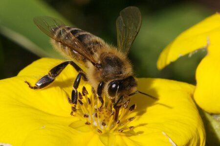 Bienensterben am Oberrhein durch Notzulassung von Neonicotinoid